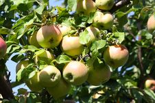 Free Apples On A Branch Stock Images - 19468154