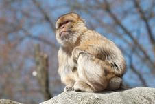 Long-tailed Macaque Royalty Free Stock Image