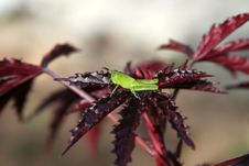 Free Green Grasshopper Royalty Free Stock Image - 19468246