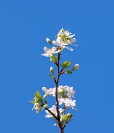 Free Branch Of A Blooming Fruit Tree With White Flowers Royalty Free Stock Image - 19468526