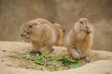 Free Prairie Dogs Royalty Free Stock Photos - 19468818