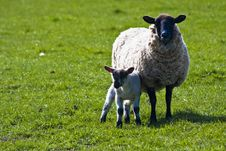 Free Ewe With Her Lamb Royalty Free Stock Image - 19469236