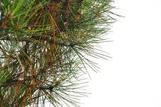 Free Pine Tree Stock Photo - 19470570