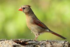 Free Pretty Cardinal Royalty Free Stock Photography - 19471047