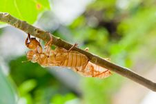 Cicada Molt On The Coconut Tree Stock Photos