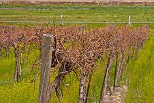 Free Vineyard Closup Stock Image - 19471291