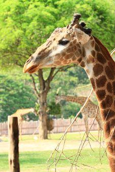 Free Giraffe Stock Photography - 19471422