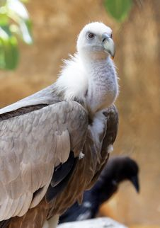 Free Griffon Vulture Stock Photos - 19472013