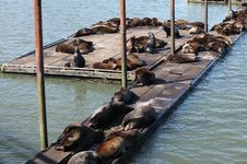 Free Sea-lions Basking At A Marina In Astoria Oregon. Royalty Free Stock Photo - 19472845