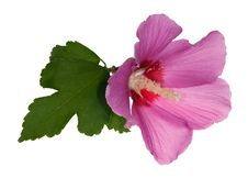 Pink Flower With Green Leaf On White Royalty Free Stock Photo