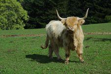 Free Scottish Highland Cow Royalty Free Stock Photos - 19473268