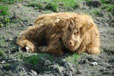 Free Scottish Highland Calf Stock Images - 19473274