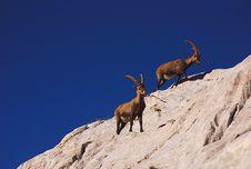 Free Ibex, Dolomites Stock Photography - 19473562
