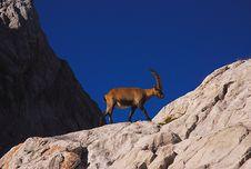 Free Ibex, Dolomites Stock Photo - 19473580