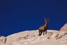 Free Ibex, Dolomites Stock Image - 19473611