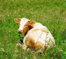 Free Cow Royalty Free Stock Photos - 19474128