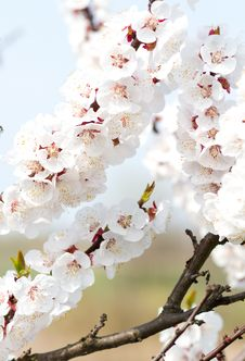 Free Cherry Flower Stock Image - 19475411