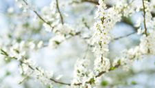 Free Cherry Flower Royalty Free Stock Photos - 19475538
