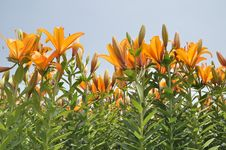 Free Lily Stock Photography - 19476832