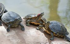 Free Red Necked Slider Turtle Royalty Free Stock Photo - 19477305