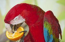 Free Scarlet Macaw Stock Photos - 19477353