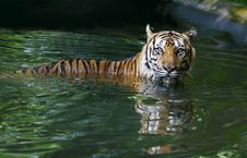 Free Tiger In Pool Royalty Free Stock Image - 19477406