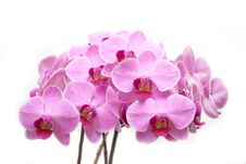 Pink Phalaenopsis Royalty Free Stock Image