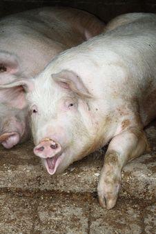 Free Pig Royalty Free Stock Image - 19478556