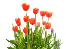 Free Orange Tulips Royalty Free Stock Photos - 19478928