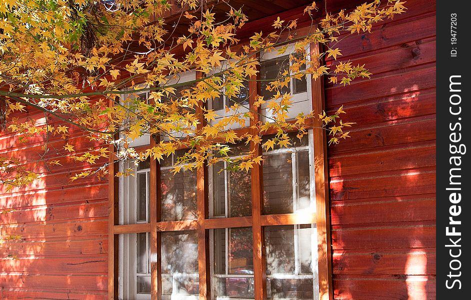 Orange maple tree and leaves