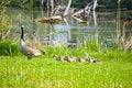 Free Mama Goose Leads Chicks Stock Photo - 19482840