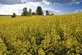 Free Fields Of Colza (rape) Stock Photography - 19486942