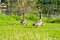Free Geese And Chicks Running Royalty Free Stock Photography - 19487207