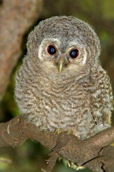 Tawny Owl, Juvenile / Strix Aluco Royalty Free Stock Images