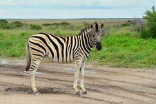 Free Zebra Royalty Free Stock Photos - 19480268