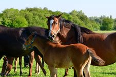 Free Horses Royalty Free Stock Image - 19480386