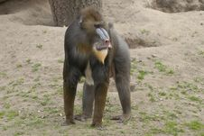 Free Mandrill Royalty Free Stock Photo - 19481185