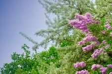Free Lilac Flowers Stock Photography - 19481592