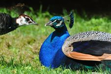 Free Peacock Pair Stock Images - 19481714