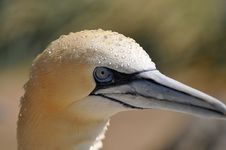 Free Northern Gannet Stock Photography - 19481842