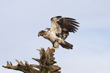 Free Juvenile Bald Eagle Royalty Free Stock Photo - 19481935