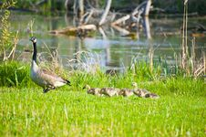 Free Mama Goose Leads Chicks Stock Photo - 19482840