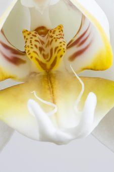 Free Phalaenopsis Aphrodite, Macro Stock Image - 19484001