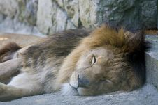 Free Sleeping Lion Stock Photography - 19484082