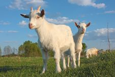 Free Kid Goat Royalty Free Stock Photo - 19485755