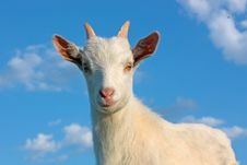Free Kid Goat Stock Photography - 19485762