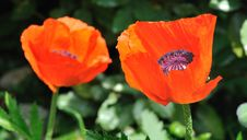 Free Two Poppies Stock Photography - 19485912