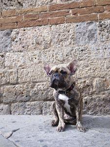 Free Bullfight Dog Royalty Free Stock Photo - 19486345