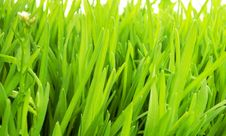 Free New Grass Royalty Free Stock Photo - 19487075