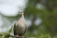 Free Wild Pigeon Stock Photo - 19487130